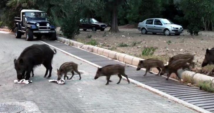 Marmarisliler şehre inen domuzlardan tedirgin! Yetkililerden yardım istediler