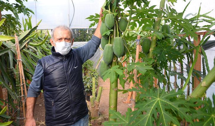 Bahçesinde papaya meyvesi yetiştiriyor! Sezonluk geliri 45 bin TL