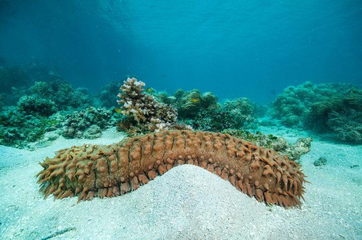 Deniz patlıcanı nedir? Deniz patlıcanı nelere iyi gelir?