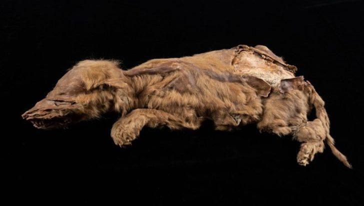Kanada'da 57 bin yıllık kurt yavrusu fosili bulundu