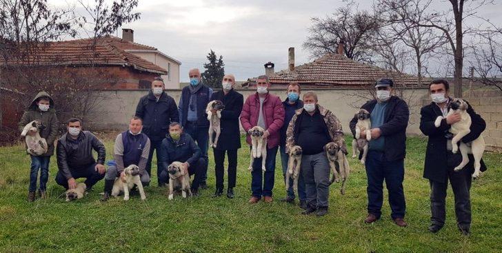 Artan kurt saldırıları sonrası kaymakamlık kangal köpeği dağıttı