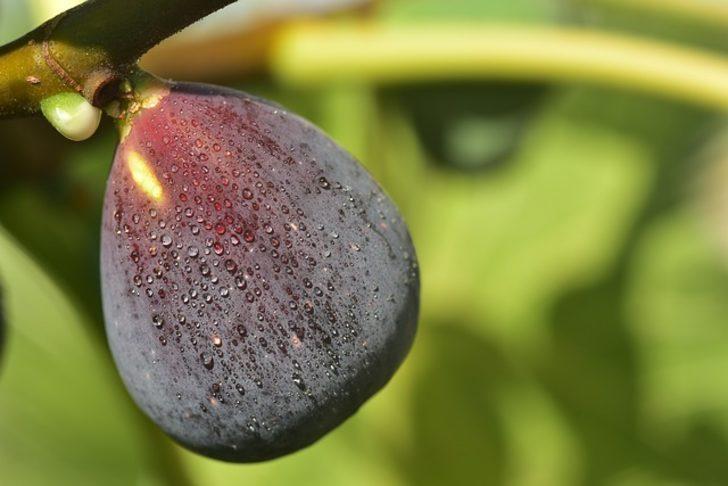 Rüyada incir ağacı görmek ne demek, ne anlama gelir?