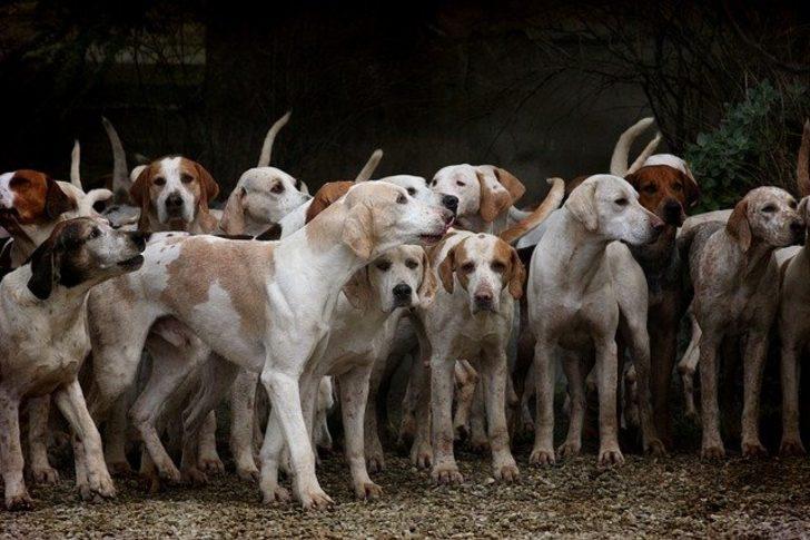 Rüyada köpek sürüsü görmek ne demek, ne anlama gelir?