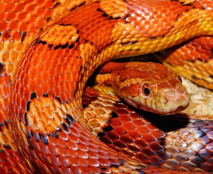 Rüyada kırmızı yılan görmek ne demek, ne anlama gelir?