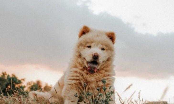 Çin Aslanı (Chow Chow) özellikleri nelerdir? Yavru Çov-Çov bakımı nasıl yapılır?