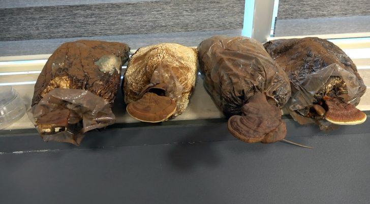 Uzak Doğu'da 2 bin yıldır kullanılan 'ölümsüzlük mantarı' Düzce'de üretildi