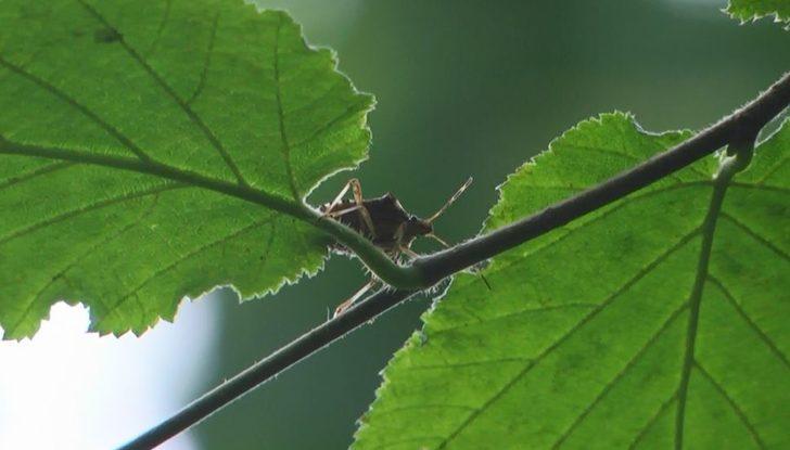 Fındığı tehdit eden 'kahverengi kokarca' böceğini, 'samuray arı' yok edecek