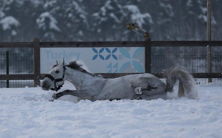 Atların kar banyosu keyfi böyle görüntülendi
