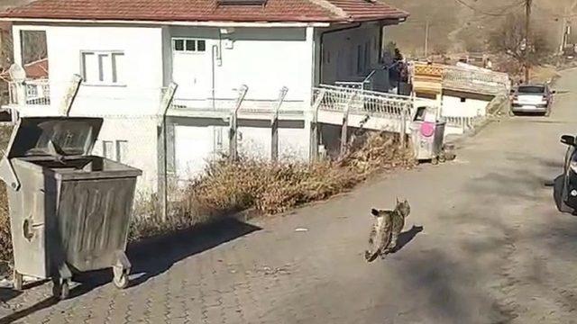 Vahşi hayvan ilçe merkezine indi