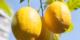 Evde limon ağacı yetiştirmek hiç zor değil! Hem de 4 adımda