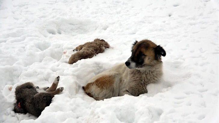 Van'da yürek burkan olay: Köpek, donarak ölen yavrularının başından 5 gündür ayrılmıyor