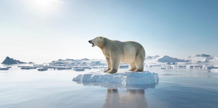 Kutup ayıları yemek için 3 gün yüzüyor, açlıktan ölüyorlar!