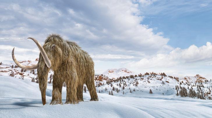 İnsanlar olmasaydı mamutlar 4 bin yıl daha yaşayacaktı!
