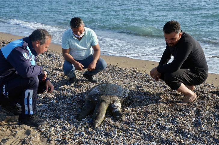Antalya'da sahile ölü Nil kaplumbağası vurdu, ekipler şaşkına döndü