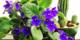 Menekşe bakımı nasıl yapılır? Menekşelerin çiçek açmamasının en yaygın nedeni...