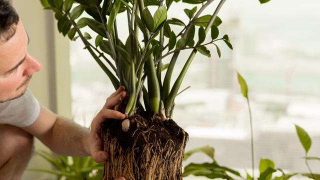 Karanlıkta bile yaşıyor: Evin havasını temizleyen zamia bitkisiyle tanışın!