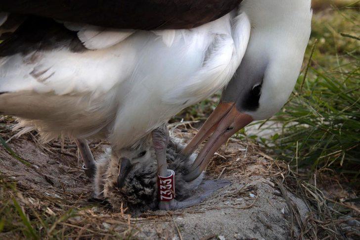 Dünyanın en yaşlı yabani kuşu, 70 yaşında bir kez daha anne oldu