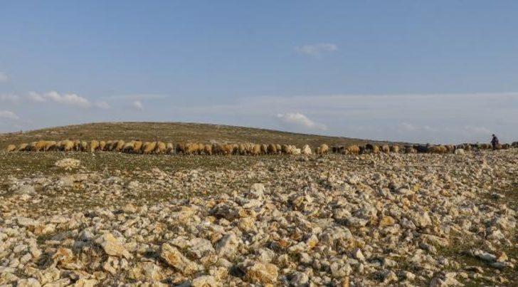 Mardin'de son 20 yılın en kurak dönemi! Besiciler meralarda ot bulmakta zorlanıyor