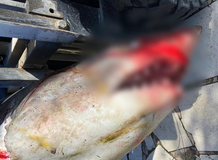 Boyu 3 metre! Nesli tükenmek üzere olan köpek balığı sahile vurdu