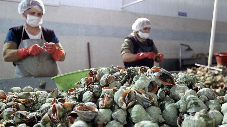 İki ayda 2,7 milyon dolarlık deniz salyangozu ihraç edildi