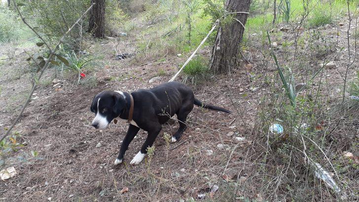 Köpeği ormanda ağaca bağlayıp ölüme terk ettiler
