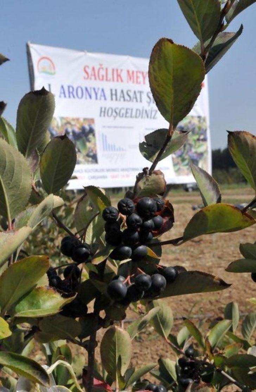 Aronia Meyvesi Nedir Aronya Meyvesi Neye İyi Gelir