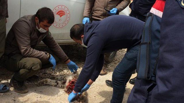 Aladağlar Milli Parkı'nda bir vaşağın ölü bulunmasıyla ilgili soruşturma başlatıldı