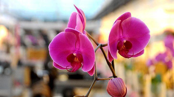 Orkide bakımı nasıl yapılır? Orkide sulama ve çoğaltmanın önemli noktaları