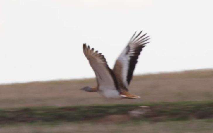 Soyu tükenmek üzere! Türkiye'nin en büyük kuşu olan Toy Kuşu Kırıkkale'de görüldü