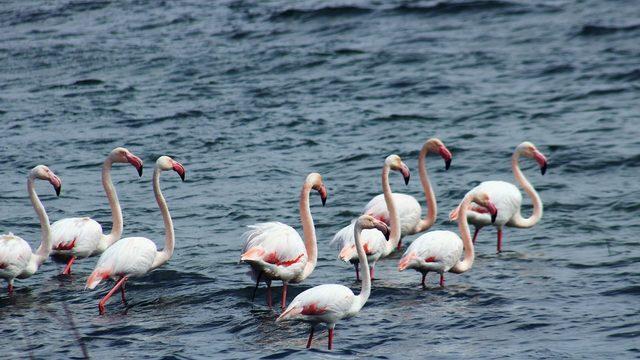 Anadolu'nun Plajı Savcılı'da, flamingolar görüldü