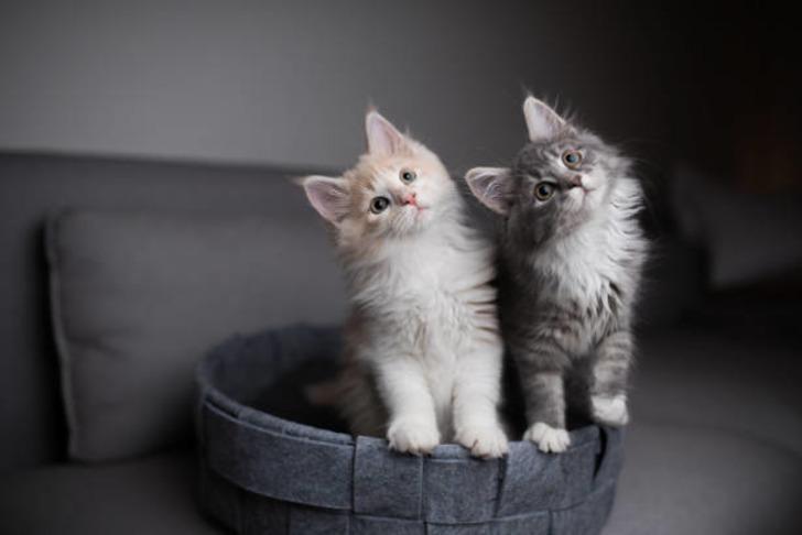 Bu kediler servet değerinde! Dünyanın en pahalı kedi türleri