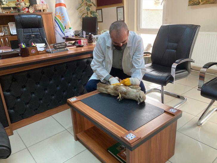 Tokat'ta bir vatandaşın arazide bitkin bulduğu şahin yetkililere teslim edildi