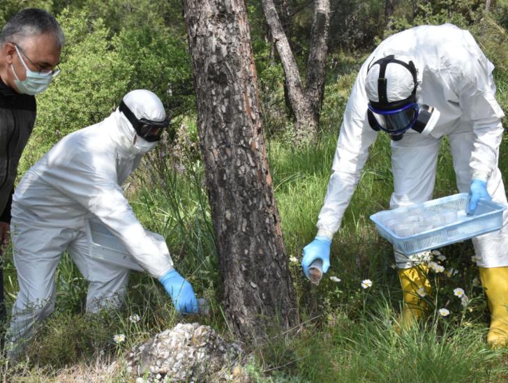 Göreve hazırlar! Çam ormanının terminatör böcekleri laboratuvarda üretildi, doğaya salındı