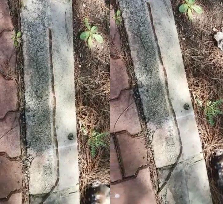 Tırtıl konvoyu görenleri şaşırttı: İlk bakışta yılan sandılar