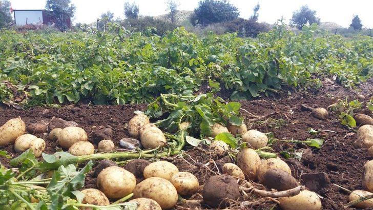 Datça'da yılın ilk patates hasadı