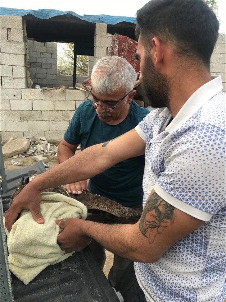 Iğdır'da tüfekle vurulan kaya kartalı tedavi altına alındı