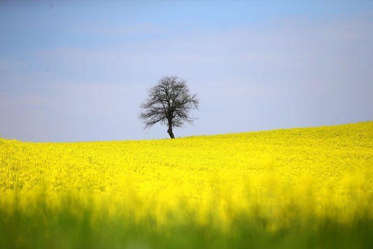 Trakya'nın 'altın sarısı' kanola tarlaları, doğal fotoğraf stüdyosu oldu