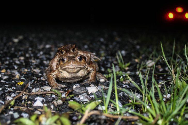 Dünyada eşi benzeri görülmemiş göç! Kütahya'da kurbağaların ormandan gölete 5 bin yıllık göçü başladı