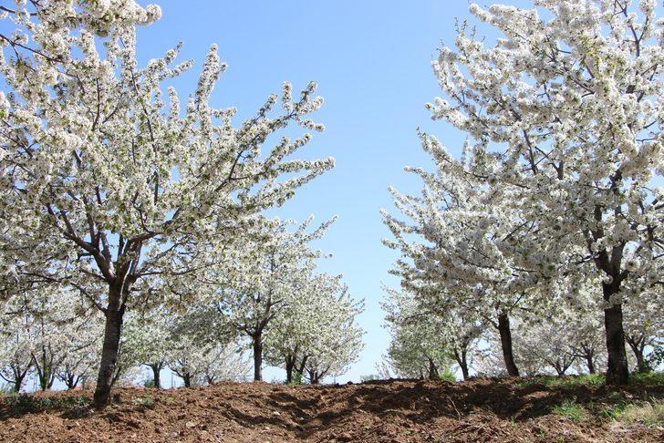 Tarihi Harput Mahallesi, kiraz çiçekleriyle beyaza büründü
