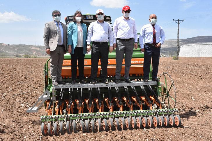 Sivas'ta izinli ilk kenevir ekimi yapıldı