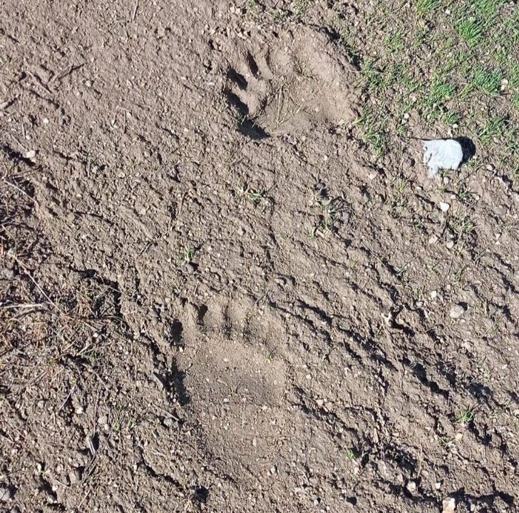 Kahramanmaraş'ta 'ayı' heyecanı: Bugüne kadar tespit edilmiş en büyük iz