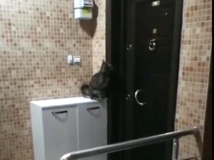 Tokmakla kapı çalan kedi, sosyal medyayı salladı