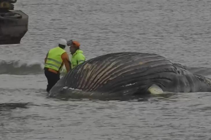 8 metrelik balina kıyıya vurdu: Her an patlayabilir