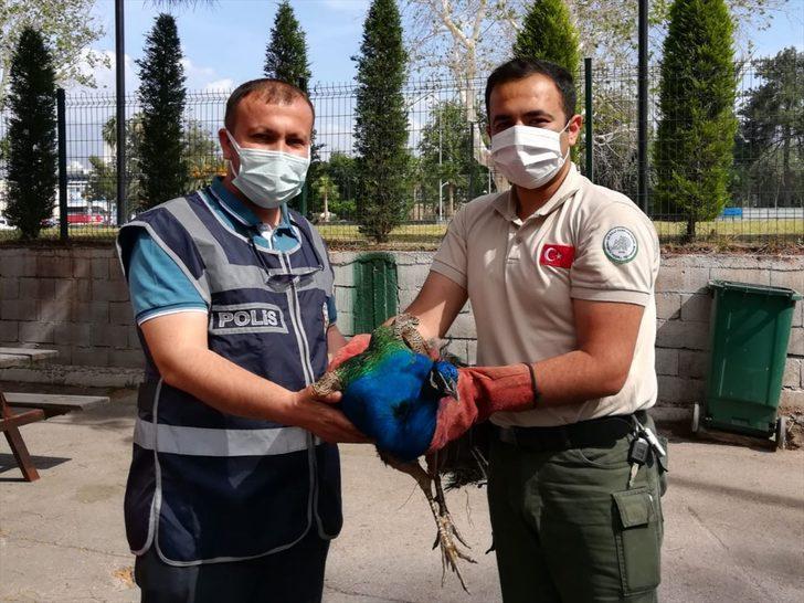 Osmaniye'de Orman İşletme Müdürlüğünden tavus kuşu çalan 2 şüpheli yakalandı