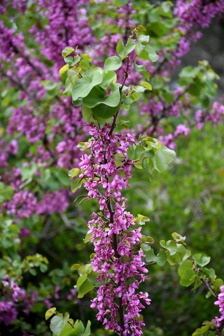 Erguvan çiçeği reçeli sofralardaki yerini aldı! Hem rengiyle hem de lezzetiyle büyülüyor