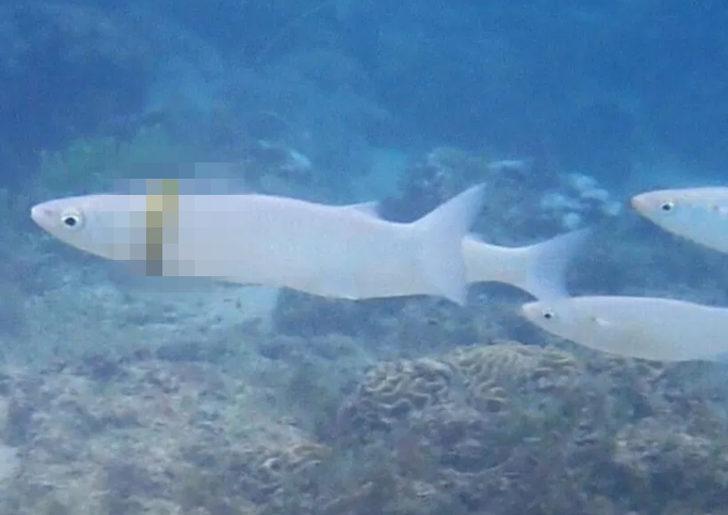 Şaşkına çeviren an! Kayıp alyans balığın boynundan çıktı
