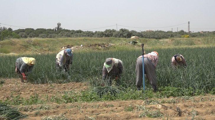 Tire'de taze soğan hasadı devam ediyor
