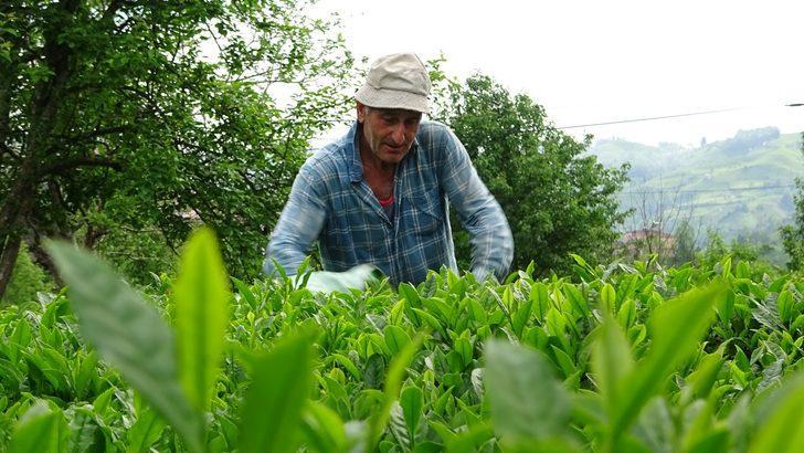 2021 yaş çay sezonu başladı!