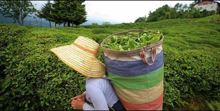 Yaş çay 2021 alım fiyatları belli oldu! Yaş çay alım fiyatı ne kadar?