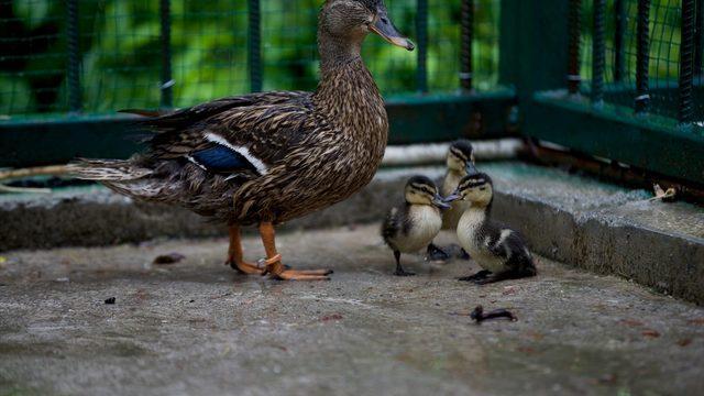 Düzce'de tedavi altındaki yeşilbaş ördeğin dünyaya getirdiği 3 yavru ilgi odağı oldu